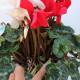 【送料無料】シクラメン 紅白寄せ植え 【花苗 開花株 6号大鉢  /1個売り】シクラメン カガリビバナ フラワー サクラソウ科 シクラメン属 開花株  ガーデンシクラメン 多年草 Cyclamen persicum