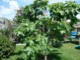 ミニイチジク ブラウンターキー【ミニ果樹苗9cmポット/2個セット即納】【送料無料】