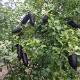 【送料無料】フィンガーライム ダーラムエメラルドの大苗(品種物 数量限定)【12cmロングポット3年生接木苗 樹高約60cm1鉢】果樹苗 フィンガーライム苗木 D'Emerald キャビア・ライム フルーツキャビア 森のキャビア