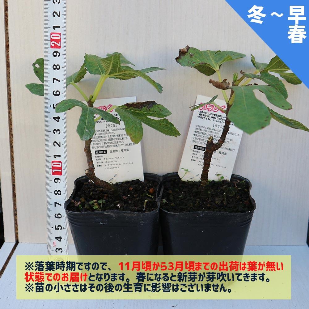 ミニイチジク ショートブリッジ【ミニ果樹苗9cmポット/2個セット即納】【送料無料】
