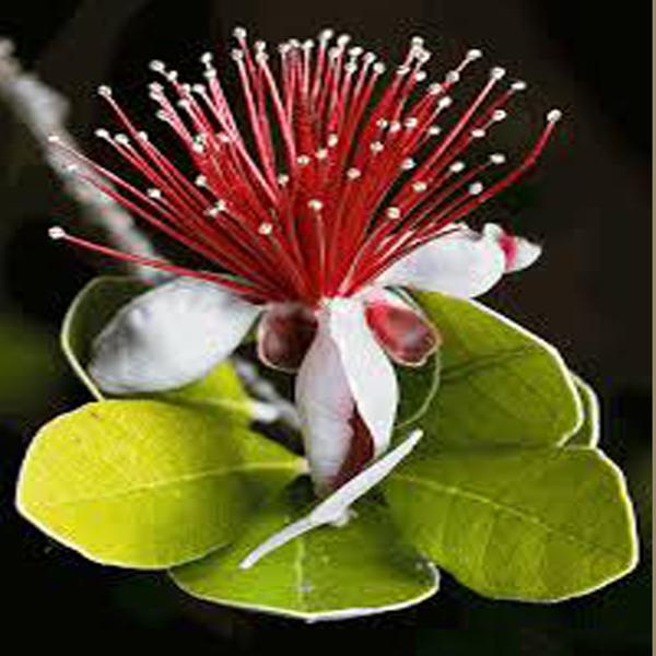 フェイジョア マンモス:花も美しい庭園向き果樹 18cmポット:樹高約60cm  【送料込み価格】【九州圃場より直送】