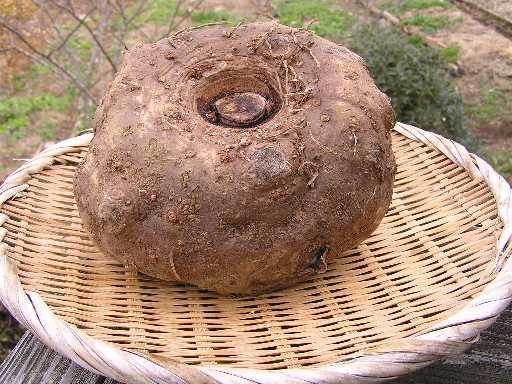 こんにゃく芋 茨城県産土つき 約1kg強(青果) こんにゃくの素1袋(25g)セット【即出荷/送料無料】