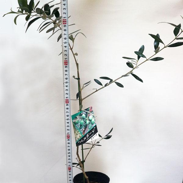 「ベルダーレ」オリーブ苗木12cmロングポット(2〜3年生挿し木/大苗)【1個】【ポット苗なのでほぼ年中植付けOK!即出荷!】  【送料無料】