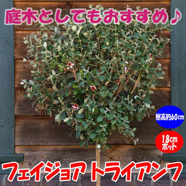 フェイジョア トライアンフ:花も美しい庭園向き果樹 18cmポット:樹高約60cm  【送料込み価格】【九州圃場より直送】