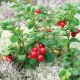 リンゴンベリー9cmポット苗(挿し木苗)/お買い得2個セット【果樹 二年生挿し木苗/即出荷】リンゴンベリーには驚く程の量のビタミンEが含まれ、またマンガンも豊富に含まれており良質な食物繊維を摂取できます。【自社農場から新鮮苗直送!!】【送料無料】