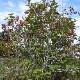 【送料無料】クランベリーの苗木【果樹苗 2年生 挿木苗12cmポット/1個】