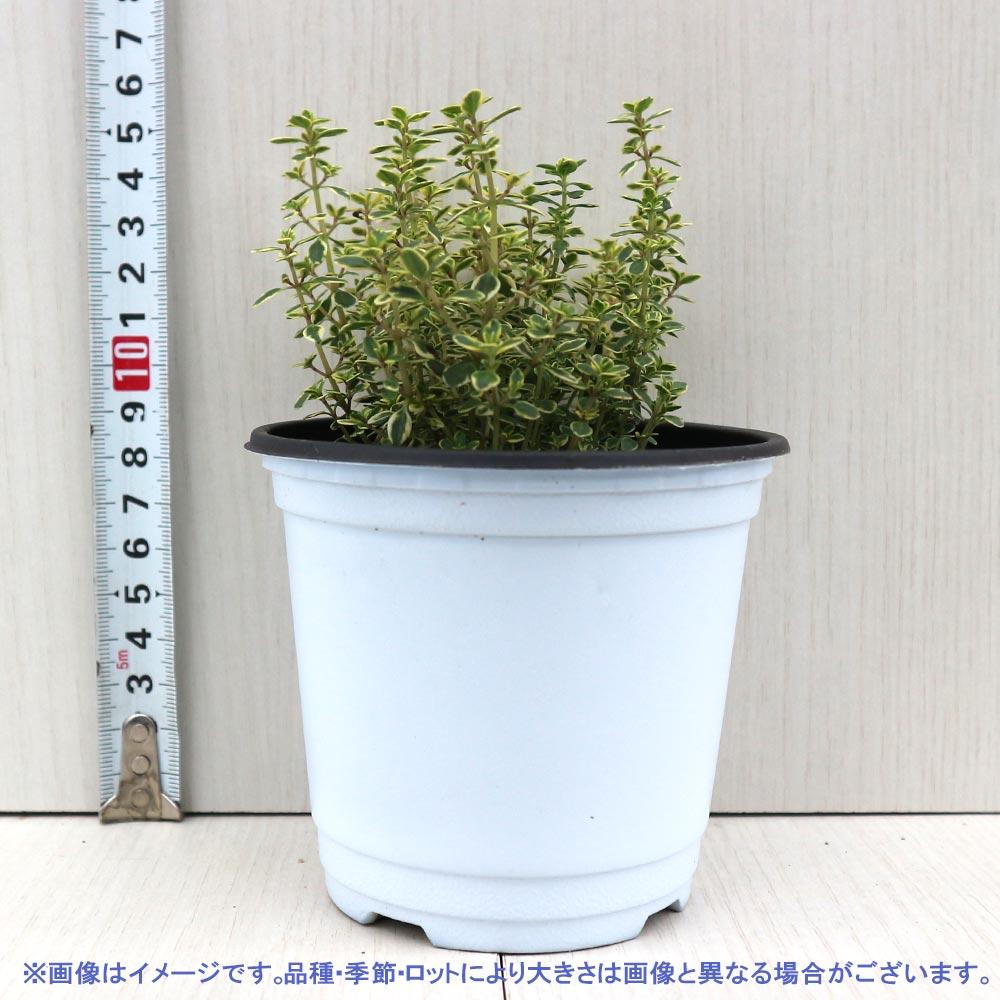【送料無料】ゴールデンレモンタイム 10.5cm 4個セット【おうちで簡単!育てやすい10.5cmポットハーブ苗シリーズ!】根張り・大きさ・選別が良いので、育てやすい!生育簡単で初心者にもオススメのハーブシリーズです!ガーデニングや家庭菜園に!