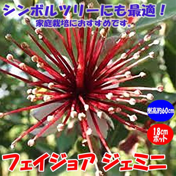 フェイジョア ジェミニ:花も美しい庭園向き果樹 18cmポット:樹高約60cm  【送料込み価格】【九州圃場より直送】