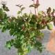 【送料無料】サルスベリの苗木 ダイナマイト【庭木 6号鉢Mサイズ  /1個売り】ブラッシュ サルスベリ苗 サルスベリの苗木 百日紅 ヒャクジツコウ ミソハギ 落葉樹