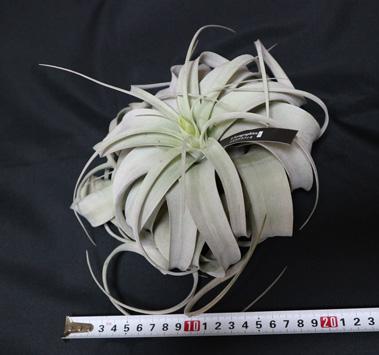 キセログラフィカ Lサイズ エアプランツ【幅約20cm 高さ約11cm(送料無料)】