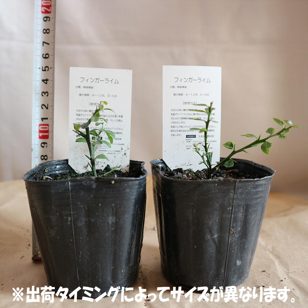 フィンガーライム グリーン9cmポット苗(挿し木苗)/お買い得2個セット【果樹 二年生挿し木苗/即出荷】フィンガーライムは、「キャビア・ライム」とも呼ばれています日本ではまだ希少な柑橘果樹です!!【自社農場から新鮮苗直送!!】【送料無料】