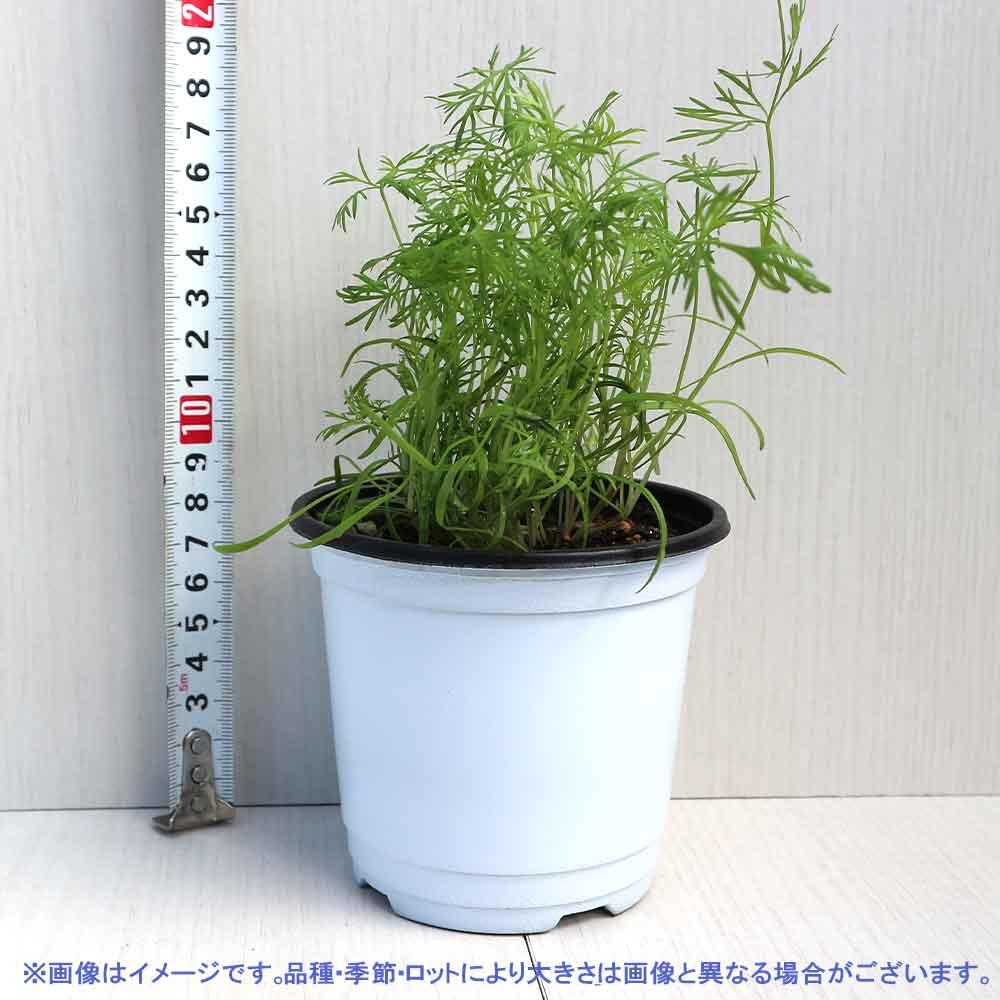 【送料無料】ディル 10.5cm 2個セット【おうちで簡単!育てやすい10.5cmポットハーブ苗シリーズ!】根張り・大きさ・選別が良いので、育てやすい!生育簡単で初心者にもオススメのハーブシリーズです!ガーデニングや家庭菜園に!