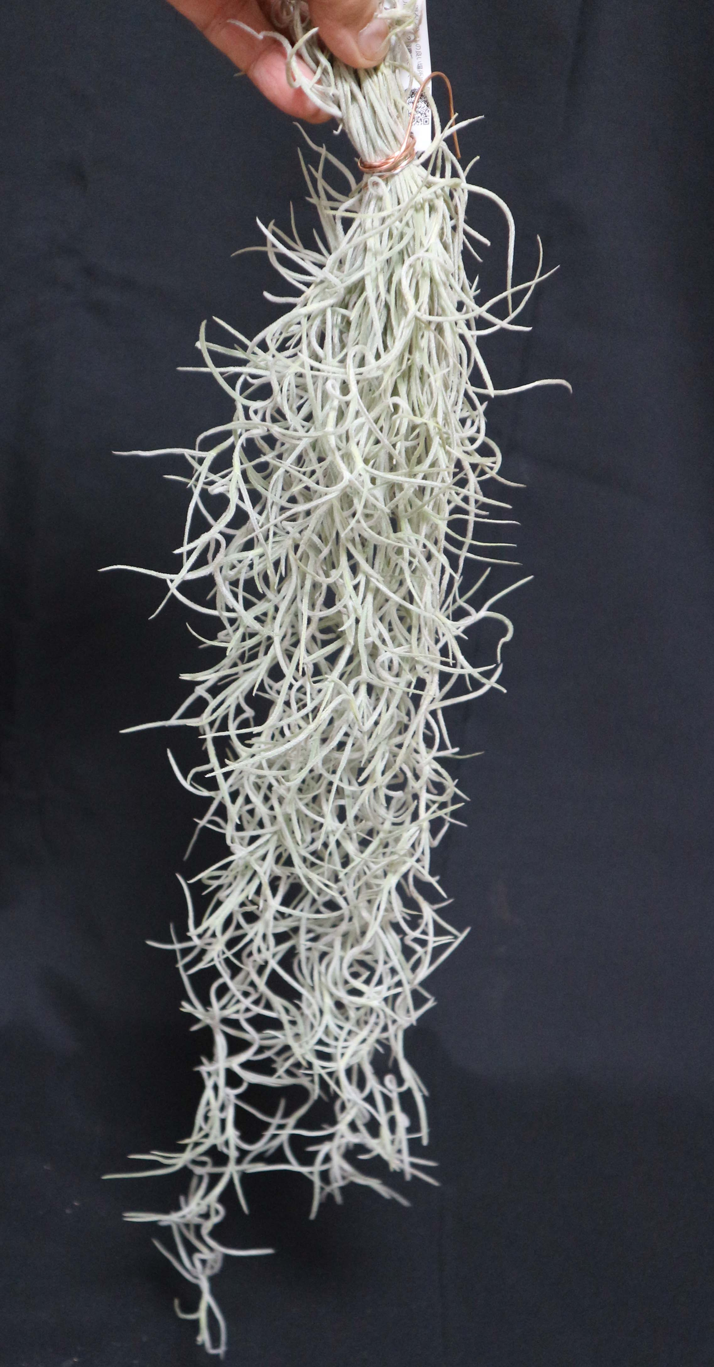 ウスネオイデス太葉Lサイズ(良い状態です) エアプランツ【長さ約45cm 幅約10cm重さ約50g(送料無料)】