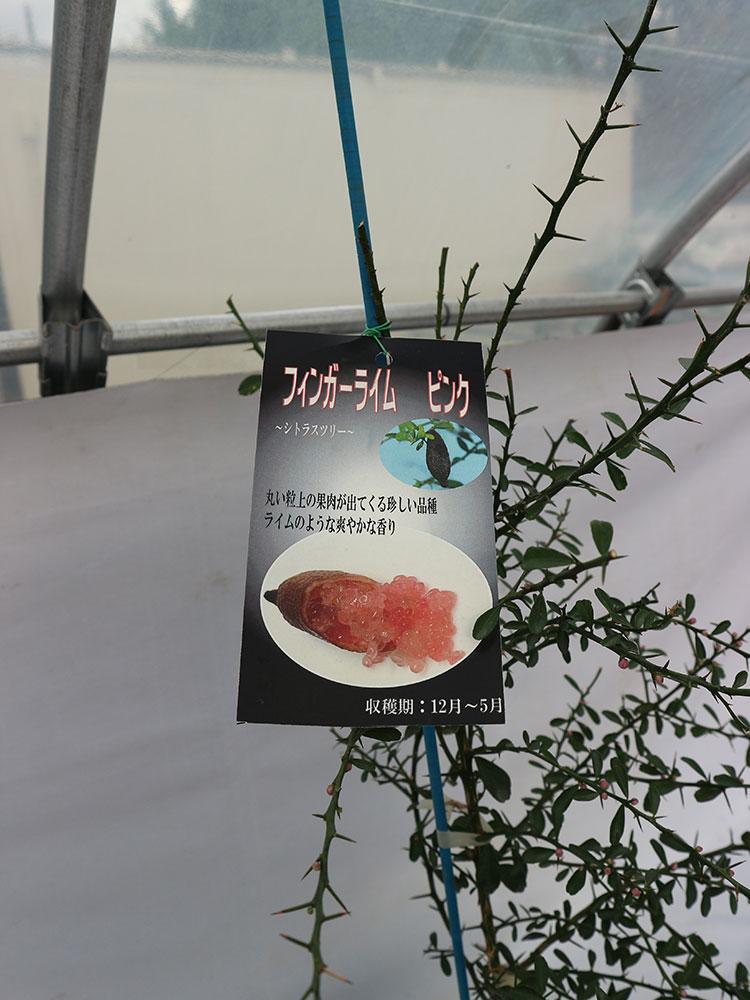 【希少品種・限定入荷!!】フィンガーライム ピンク【24cmポット果樹 大苗 1鉢】【送料無料】