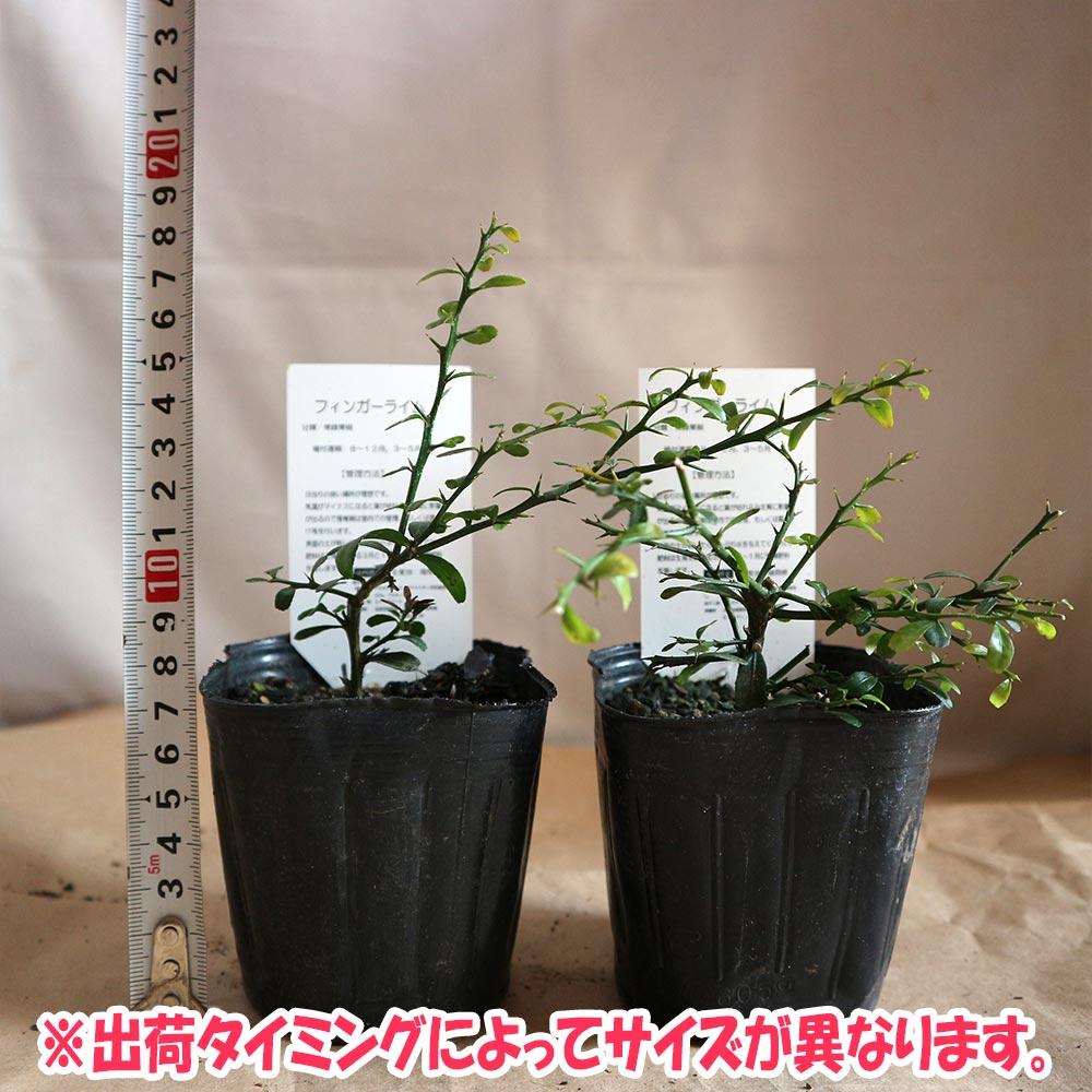フィンガーライム ピンク 9cmポット苗(挿し木苗)/お買い得2個セット【果樹 二年生挿し木苗/即出荷】フィンガーライムは、「キャビア・ライム」とも呼ばれています日本ではまだ希少な柑橘果樹です!!【自社農場から新鮮苗直送!!】【送料無料】