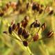 【送料無料】ディル 10.5cm 4個セット【おうちで簡単!育てやすい10.5cmポットハーブ苗シリーズ!】根張り・大きさ・選別が良いので、育てやすい!生育簡単で初心者にもオススメのハーブシリーズです!ガーデニングや家庭菜園に!