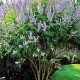 セイヨウニンジンボクプルプレア(ミツバハマゴウ)夏から初秋の花が美しい庭園向き花木 21cmポット:樹高約80cm  【送料込み価格】【九州圃場より直送】