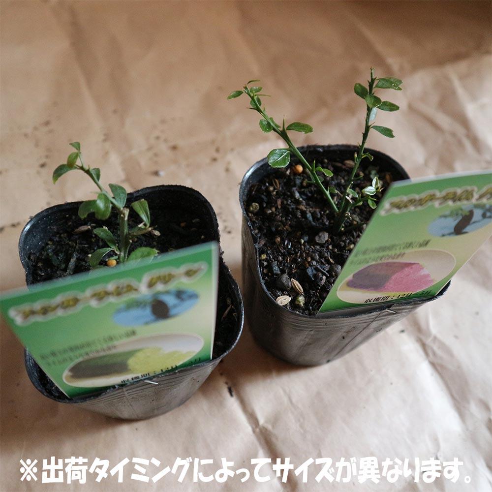 フィンガーライム グリーン&ピンク9cmポット苗(挿し木苗)/お買い得2個セット【果樹 二年生挿し木苗/即出荷】フィンガーライムは、「キャビア・ライム」とも呼ばれています日本ではまだ希少な柑橘果樹です!!【自社農場から新鮮苗直送!!】【送料無料】