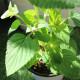 【送料無料】セージ ハニーメロン 10.5cm 2個セット【おうちで簡単!育てやすい10.5cmポットハーブ苗シリーズ!】根張り・大きさ・選別が良いので、育てやすい!生育簡単で初心者にもオススメのハーブシリーズです!ガーデニングや家庭菜園に!