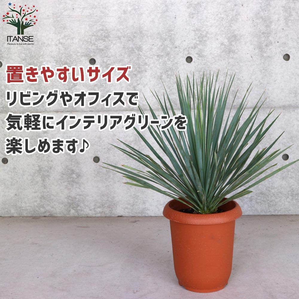 【送料無料】ユッカ ロストラータ (シルバーグリーン葉) リビングやオフィス向きサイズ【観葉植物 8号鉢  /1個売り】ゆっか ろすとらーた リビング オフィス 事務所 インテリア 大型 おしゃれ  お祝い