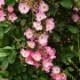 修景バラ 雅(みやび)庭園向き/管理が楽で丈夫な薔薇苗 24cmポット:樹高約30cm  【送料込み価格】【九州圃場より直送】1本