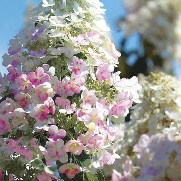 ハイドランジア「ピンクダイヤモンド」ノリウツギ(糊空木)【6号鉢苗木1鉢】 ピンクダイヤモンドは移ろう花色の変化を楽しむ海外育成のピラミッドアジサイ品種。開花期も長く楽しめます。ユキノシタ科アジサイ属の耐寒性落葉低木。自社農場から新鮮直送!!【送料無料】