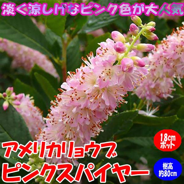 アメリカリョウブ・ピンクスパイヤー:庭園向き花木 18cmポット:樹高約80cm  【送料込み価格】【九州圃場より直送】