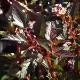 アメリカテマリシモツケ リトルデビル:庭園向き花木 18cmポット:樹高約50cm 【送料込み価格】【九州圃場より直送】