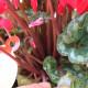 【送料無料】シクラメン  カールレッド【花苗 開花株 4号 底面給水鉢  /1個売り】シクラメン カガリビバナ フラワー サクラソウ科 シクラメン属 開花株  ガーデンシクラメン 多年草 Cyclamen persicum