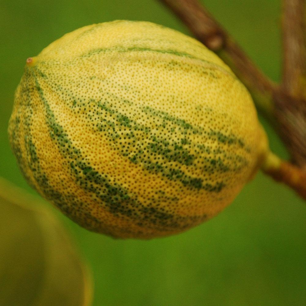 レモン ピンクレモネード 果肉はきれいなピンク色で種が少なく、料理に彩りを与えてくれます!【果樹苗9cmポット/2個セット】【秋が植え時即出荷!送料込み価格!】