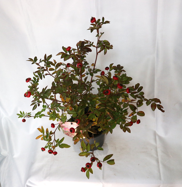 ローズヒップ センセーショナルファンタジー 実取り用品種 薔薇苗15cm硬質ポット/1個【即出荷/プライム送料込み価格】