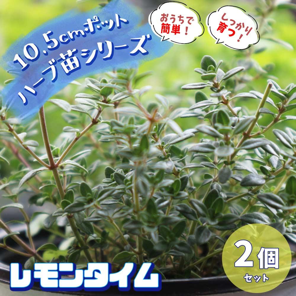 【送料無料】レモンタイム 10.5cm 2個セット【おうちで簡単!育てやすい10.5cmポットハーブ苗シリーズ!】根張り・大きさ・選別が良いので、育てやすい!生育簡単で初心者にもオススメのハーブシリーズです!ガーデニングや家庭菜園に!