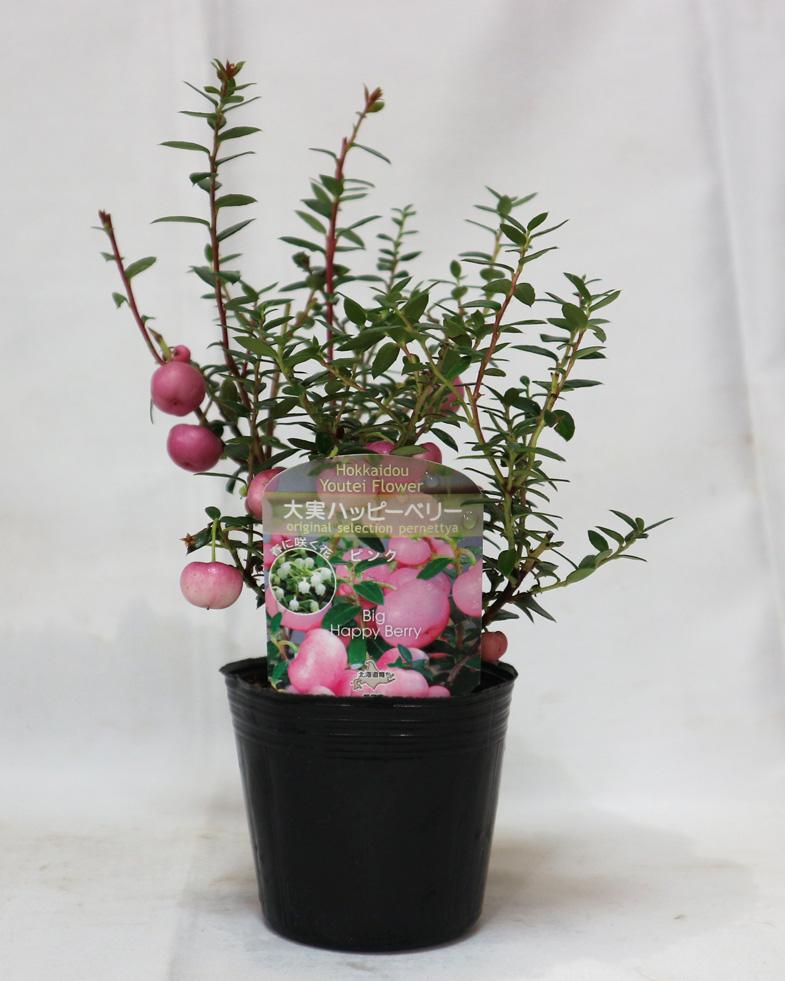 大実ハッピーベリー ピンク(ペルネチア・真珠の木)【実が美しい花木苗9cmポット/1個】【即出荷/送料込み価格】