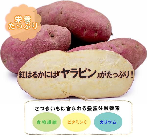 【送料無料】茨城県産 さつまいも 紅はるか 50kg【特Aクラス さつまいも MLサイズ 2020 秋 新芋 土付き お買い得】べにはるか 焼き芋 やきいも 焼芋 サツマイモ さつま芋 プレゼント ギフト 贈答 甘い 人気品種 送料無料
