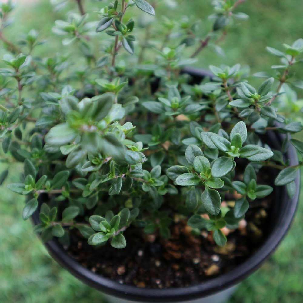 【送料無料】レモンタイム 10.5cm 4個セット【おうちで簡単!育てやすい10.5cmポットハーブ苗シリーズ!】根張り・大きさ・選別が良いので、育てやすい!生育簡単で初心者にもオススメのハーブシリーズです!ガーデニングや家庭菜園に!