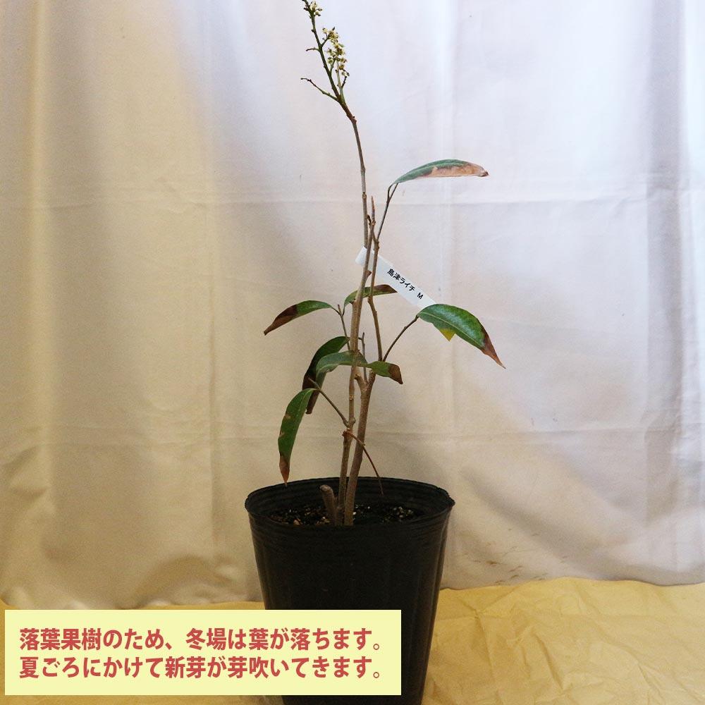 【送料無料】「ライチ 島津ライチ とり木大苗 Mサイズ 樹高40cm程度 3〜4年生苗 」【6号ポットとり木苗 1鉢】【ポット苗なので冬も、大き目の植木鉢などに植付け可能!根の土を崩さずに植えてください。自社農場から新鮮出荷!!