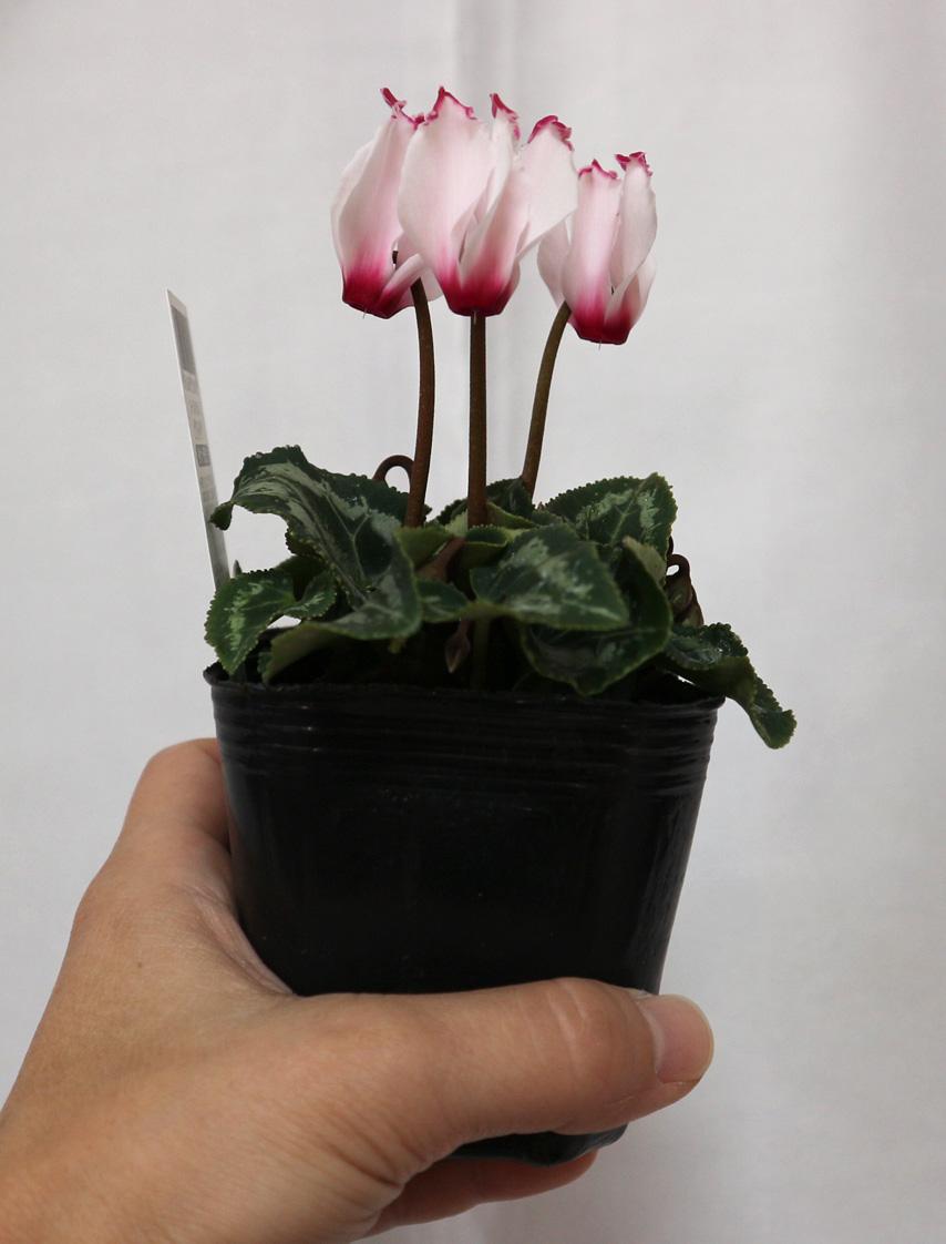 【ビクトリア ホワイト&ピンク】ガーデンシクラメン 花苗9cmポット/2個セット【即出荷/送料込み価格】