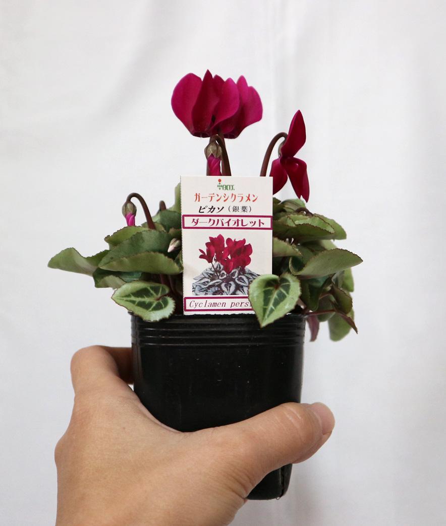 【ダークバイオレット】ガーデンシクラメン シルバーリーフコレクション 花苗9cmポット/2個セット【即出荷/送料込み価格】