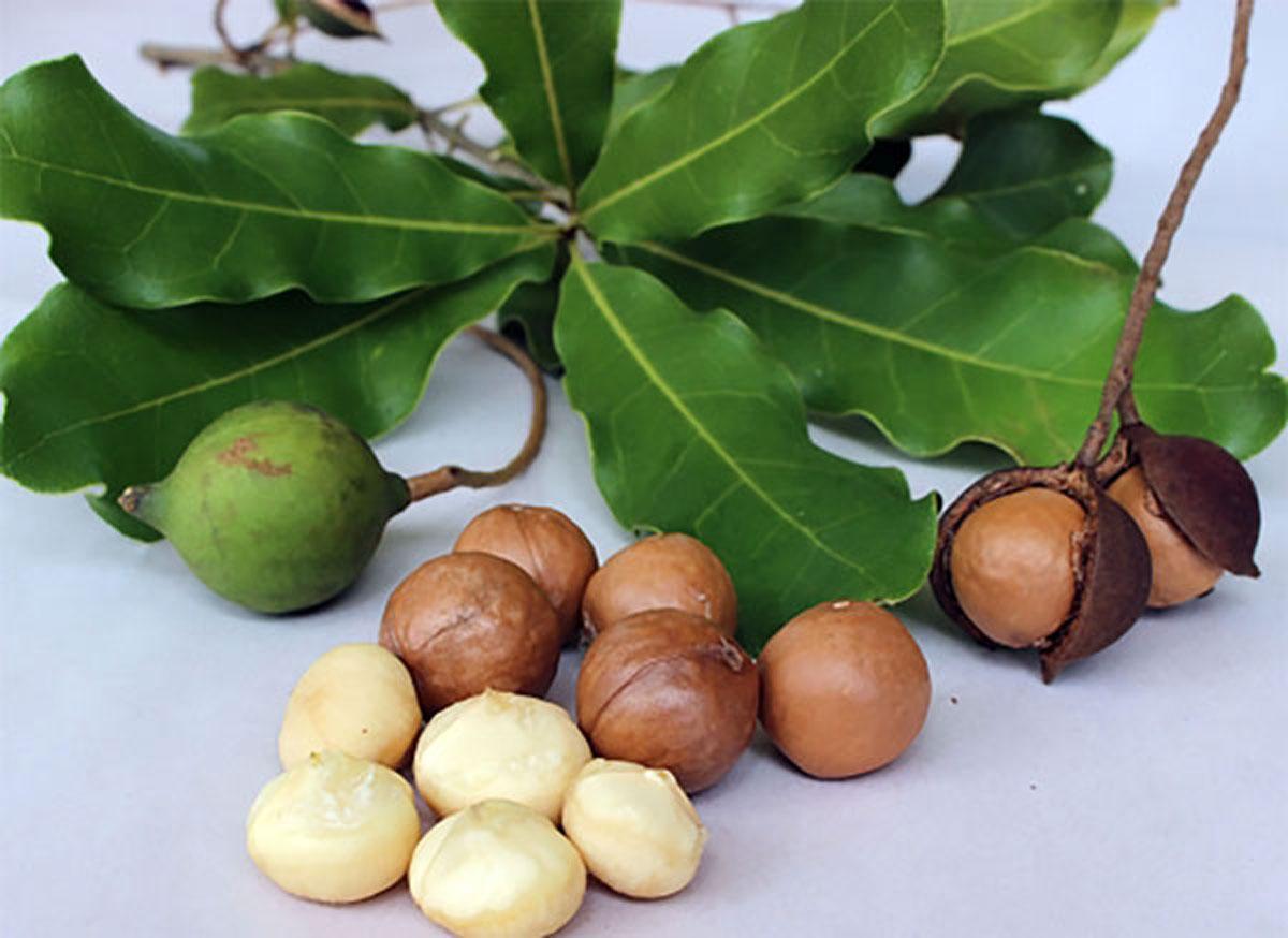 マカダミアナッツの木 【果樹6号鉢 挿し木3年生苗 1個】マカダミアの実は「マカダミアナッツ」になります。 歯ごたえはもろめでややしっとりとしており、味は淡白。 パーム油と食塩で味付けしたりチョコレートで包んだり、砕いてクッキーやケーキの材料の一部とします。