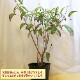 【送料無料】「ライチ 島津ライチ とり木大苗 LLサイズ 樹高80cm程度 5〜6年生苗 」【6号ポットとり木苗 1鉢】【ポット苗なので冬も、大き目の植木鉢などに植付け可能!根の土を崩さずに植えてください。自社農場から新鮮出荷!!