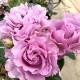 【送料無料】フレグランスローズ エターナル コンパクトな木立性【花苗 6号鉢 バラ大苗 2年生 国産接ぎ木苗/1個売り】バラ苗  薔薇苗 四季咲き 中輪 あふれるように咲く 芳香がある 花持ちがよい 株がコンパクト 鉢植えで楽しめる rose バラ園