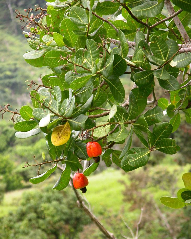 カシューナッツの木【果樹6号鉢 実生3年生苗 1個】常緑高木 背が高くなるのでベランダ栽培向きではありません。実は手のひらサイズの大きさになることもあり、とても興味深い木です。 果実はお寺の鐘のような形をしています。