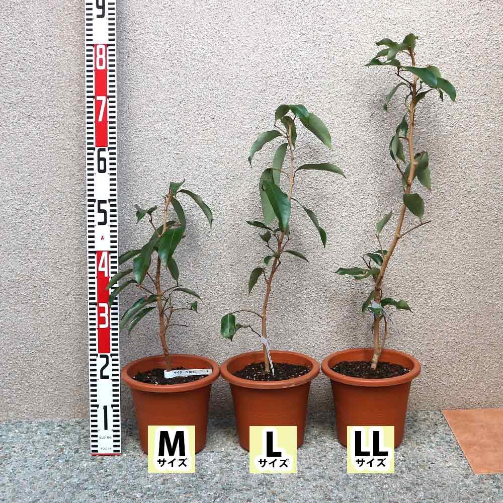 【送料無料】「ライチ 玉荷包(ぎょくかほう)とり木大苗 Mサイズ 樹高30cm程度 3〜4年生苗 」【6号ポットとり木苗 1鉢】【ポット苗なので冬も、大き目の植木鉢などに植付け可能!根の土を崩さずに植えてください。】自社農場から新鮮出荷