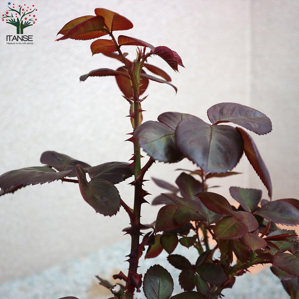 【送料無料】フレグランスローズ アルページュ コンパクトな木立性【花苗 6号鉢 バラ大苗 2年生 国産接ぎ木苗/1個売り】バラ苗  薔薇苗 四季咲き 中輪 あふれるように咲く 芳香がある 花持ちがよい 株がコンパクト 鉢植えで楽しめる rose バラ園