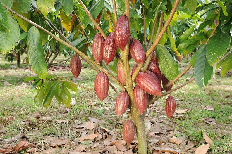 カカオの木 品種:フォラステロ(FORASTERO)【果樹6号ロングポット 実生3年生苗 1個】 チョコレートの原料として有名なカカオの木です。1本の木からは実を取るというより、室内でのオシャレな観葉植物として人気です。
