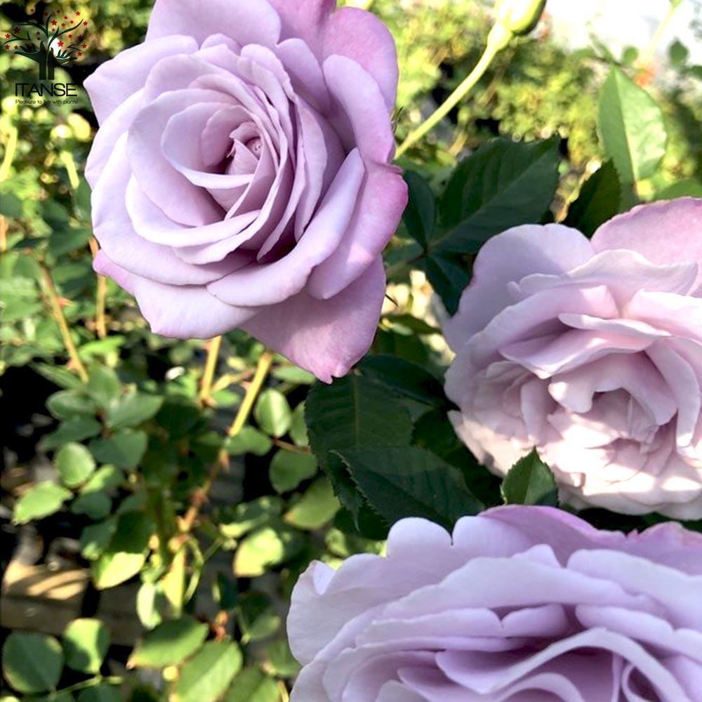 【送料無料】フレグランスローズ ラフィーネ コンパクトな木立性【花苗 6号鉢 バラ大苗 2年生 国産接ぎ木苗/1個売り】バラ苗  薔薇苗 四季咲き 中輪 あふれるように咲く 芳香がある 花持ちがよい 株がコンパクト 鉢植えで楽しめる rose バラ園