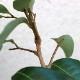 【送料無料】「ライチ 玉荷包(ぎょくかほう)とり木大苗 LLサイズ 樹高80cm程度 5〜6年生苗」【6号ポットとり木苗 1鉢】【ポット苗なので冬も、大き目の植木鉢などに植付け可能!根の土を崩さずに植えてください。】自社農場から新鮮出荷