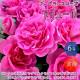 【送料無料】フレグランスローズ アリュール コンパクトな木立性【花苗 6号鉢 バラ大苗 2年生 国産接ぎ木苗/1個売り】バラ苗  薔薇苗 四季咲き 中輪 あふれるように咲く 芳香がある 花持ちがよい 株がコンパクト 鉢植えで楽しめる rose バラ園