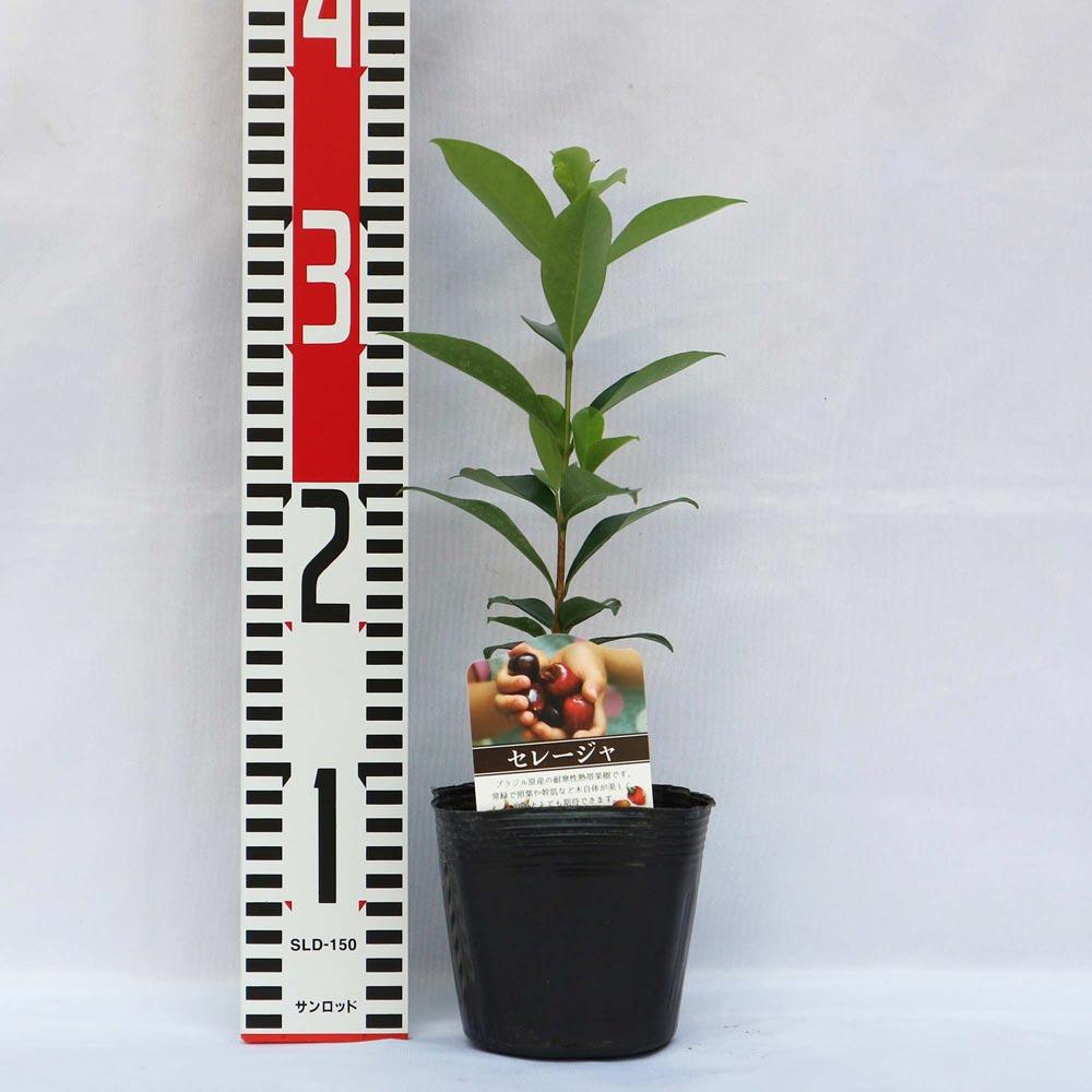 【送料無料】セレージャ(ブラジルのイチゴの木)の苗木【果樹苗 10.5cmポット/1個】希少価値あり!!青果はなかなか出回らないので自分で育てるしかないブラジル原産のトロピカル果樹!!1果の大きさは2〜3cm。