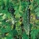 【送料無料・即出荷】F1節成りゴーヤー(品種:F1節成ゴーヤ島娘)【自根苗9cmポット/2個セット】野菜苗 ごーや ゴーヤ苗 苦瓜 ニガウリ にがうり グリーンカーテン 緑のカーテン ガーデニング 家庭菜園 ベランダ 簡単栽培 プランター 鉢植え